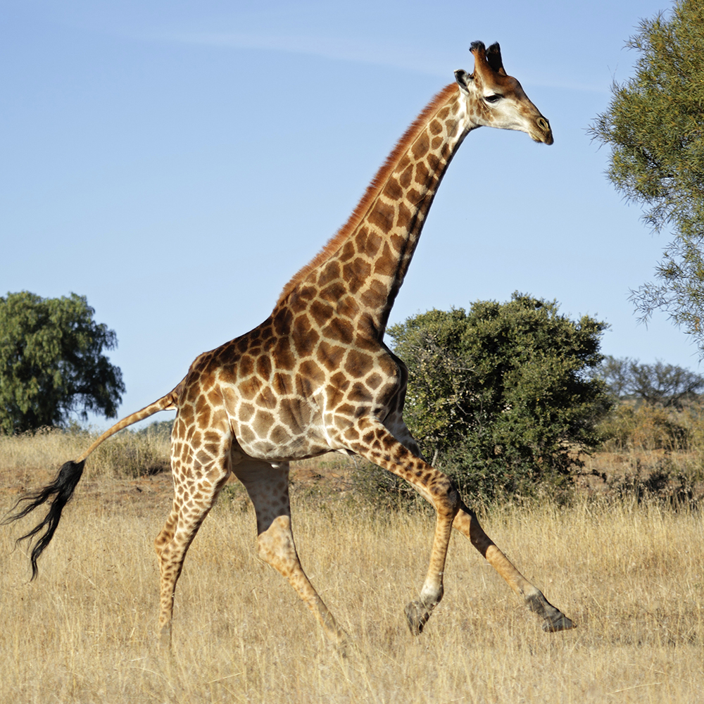 Implement strategy for business with the Giraffe Strategy Process - GiraffeStrategy.com