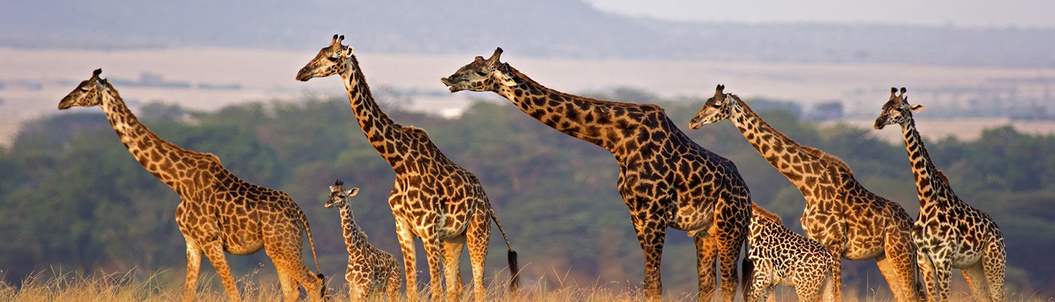 Business strategy consulting simplified with the Giraffe Strategy Process - GiraffeStrategy.com