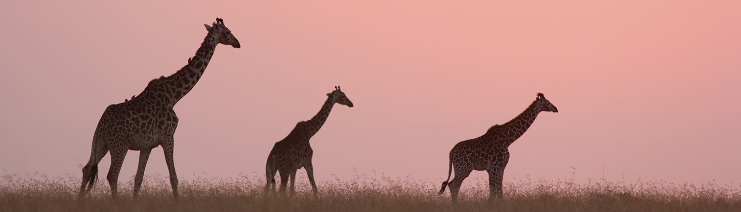 Giraffe Business Strategy Consultants simplify, develop and implement stronger business strategy - GiraffeStrategy.com
